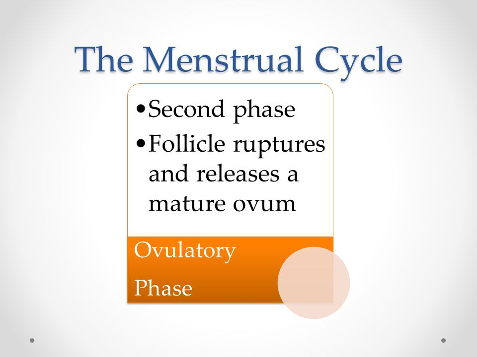 The Menstrual Cycle Ovulatory Phase Second phase