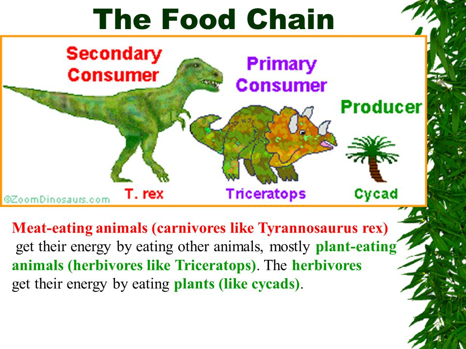 The Food Chain Meat-eating animals (carnivores like Tyrannosaurus rex)