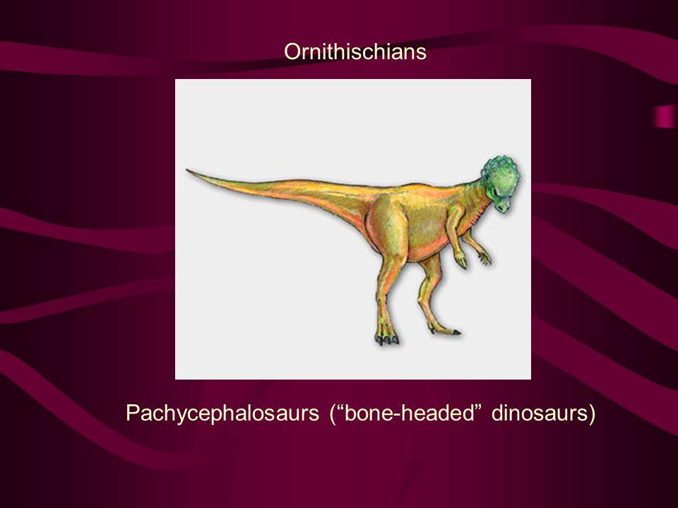Ornithischians Pachycephalosaurs ( bone-headed dinosaurs)