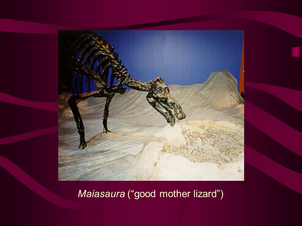 Maiasaura ( good mother lizard )