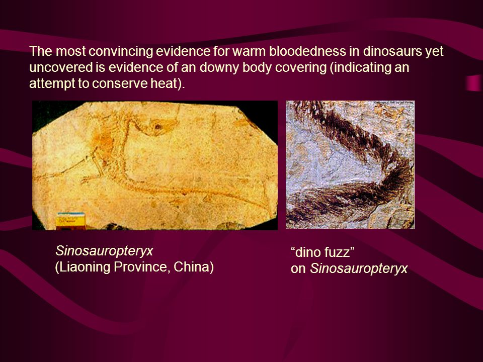 The most convincing evidence for warm bloodedness in dinosaurs yet uncovered is evidence of an downy body covering (indicating an attempt to conserve heat).