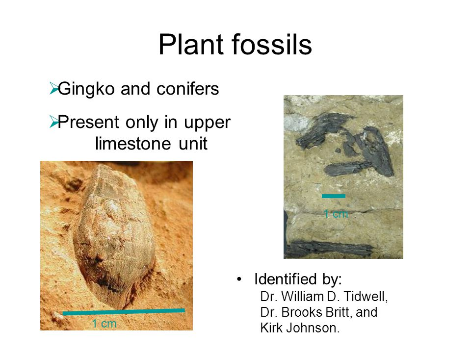 Plant fossils Gingko and conifers Present only in upper limestone unit
