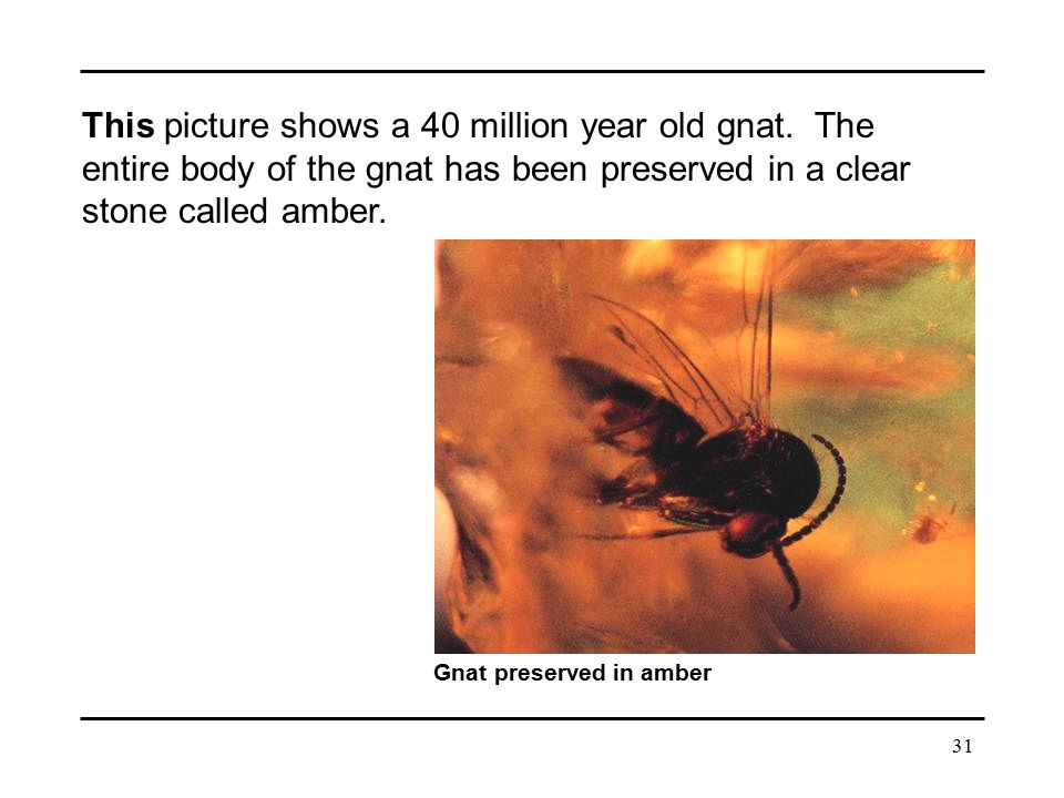 This picture shows a 40 million year old gnat