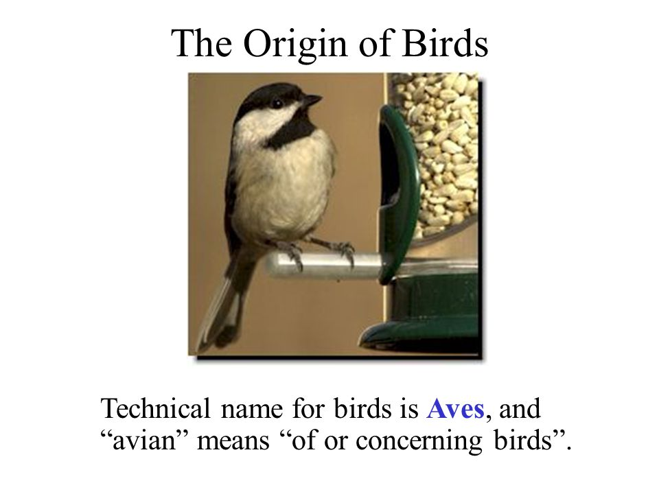 The Origin of Birds Technical name for birds is Aves, and avian means of or concerning birds .