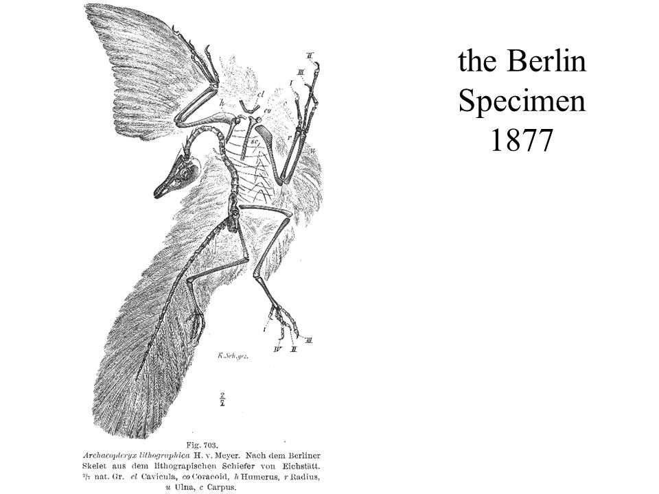 the Berlin Specimen 1877