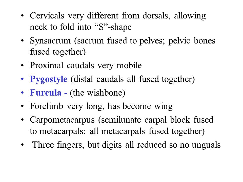 Cervicals very different from dorsals, allowing neck to fold into S -shape