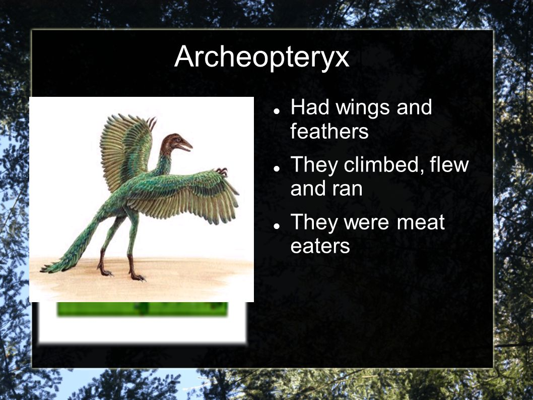 Archeopteryx Had wings and feathers They climbed, flew and ran