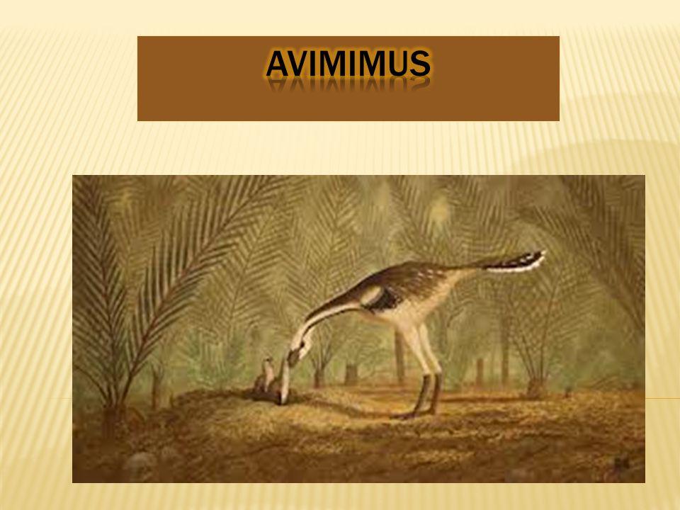 AVIMIMUs