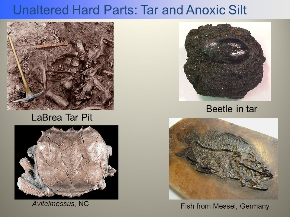 Unaltered Hard Parts: Tar and Anoxic Silt