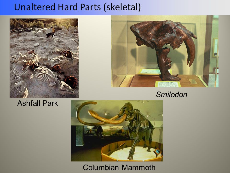Unaltered Hard Parts (skeletal)