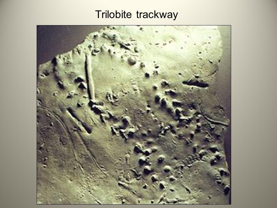 Trilobite trackway