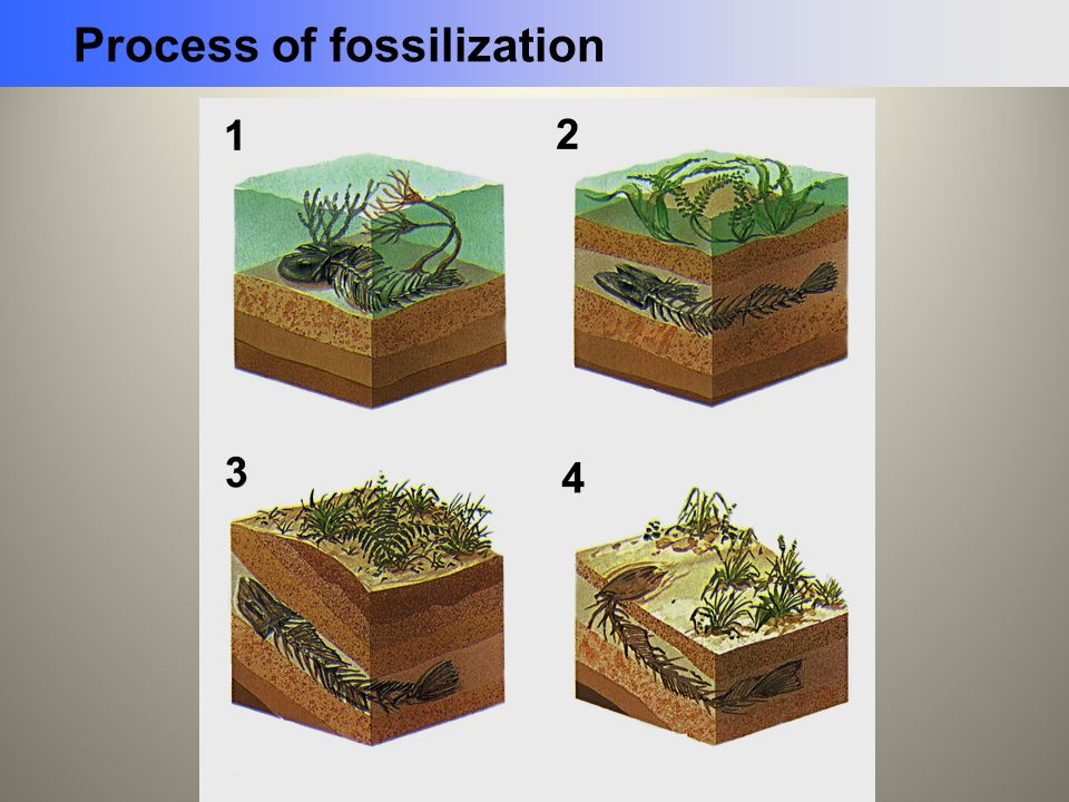 Process of fossilization