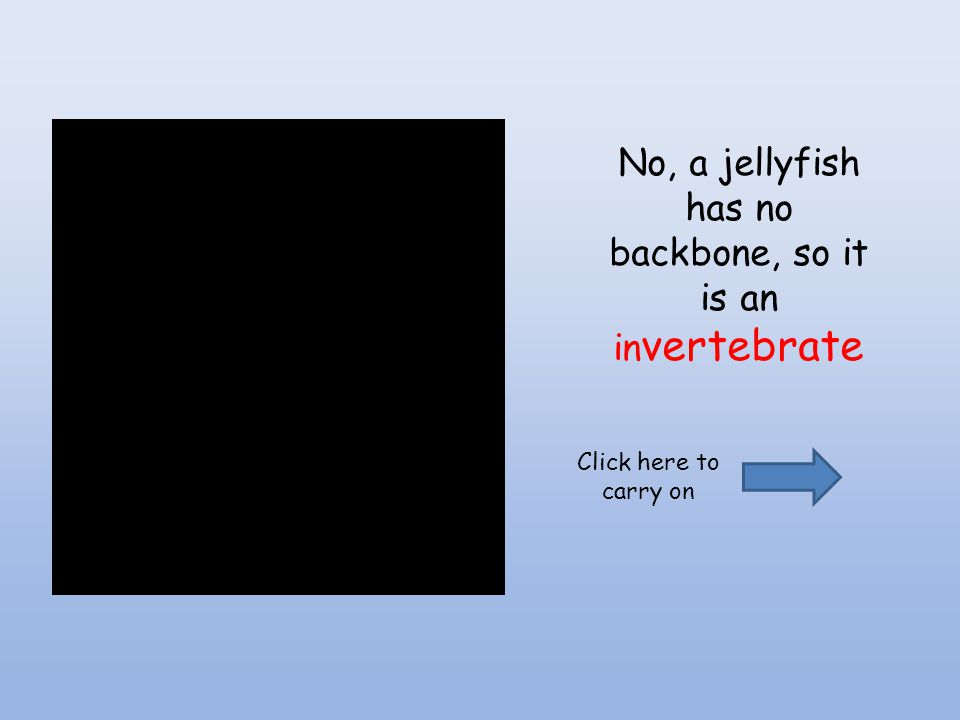 No, a jellyfish has no backbone, so it is an invertebrate