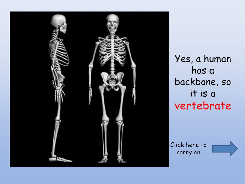 Yes, a human has a backbone, so it is a vertebrate