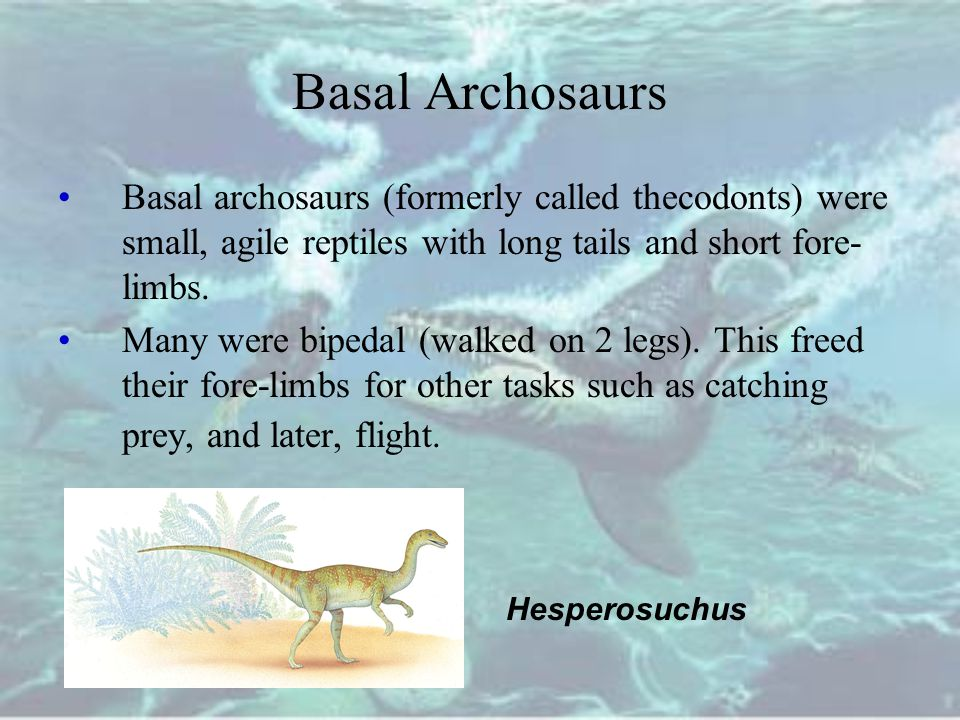 Basal Archosaurs Basal archosaurs (formerly called thecodonts) were small, agile reptiles with long tails and short fore-limbs.