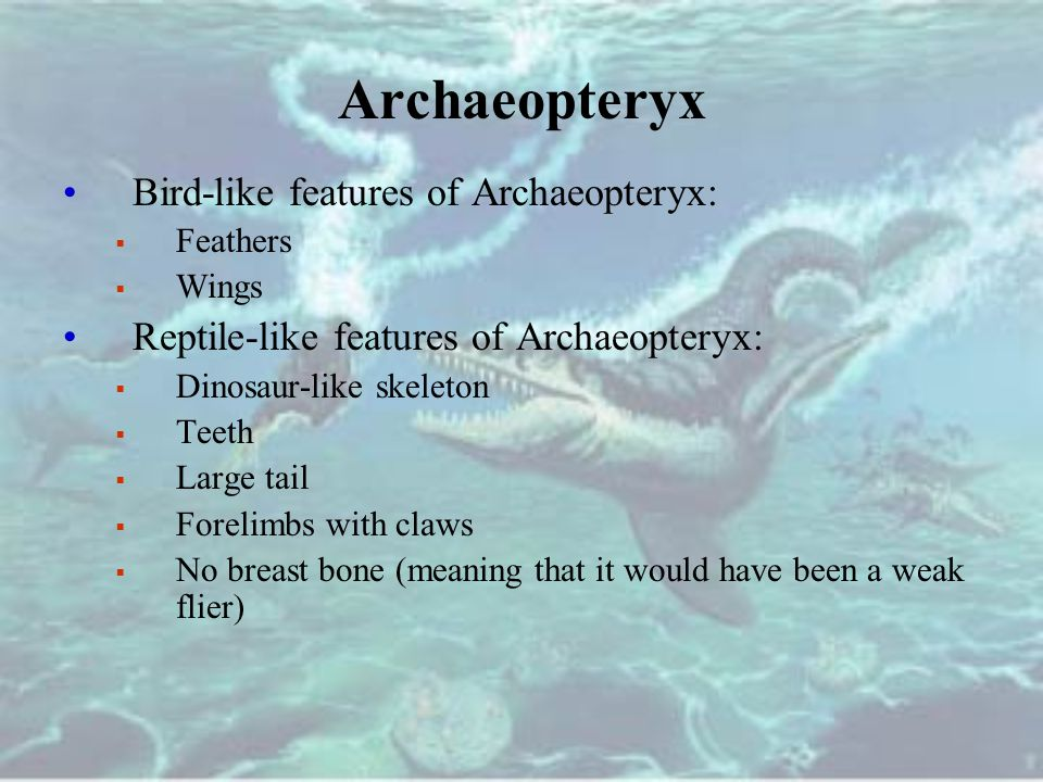 Archaeopteryx Bird-like features of Archaeopteryx: