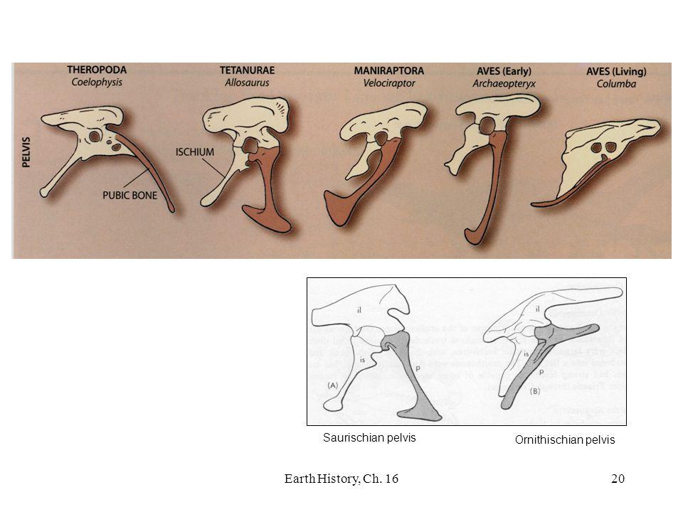 Saurischian pelvis Ornithischian pelvis Earth History, Ch. 16