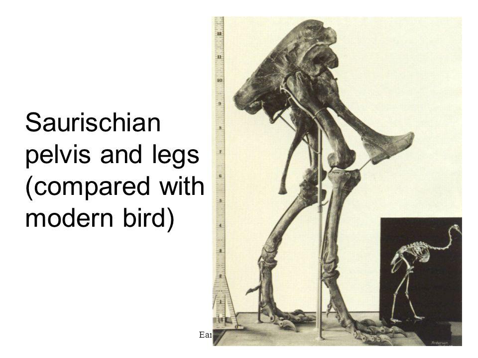 Saurischian pelvis and legs (compared with modern bird)