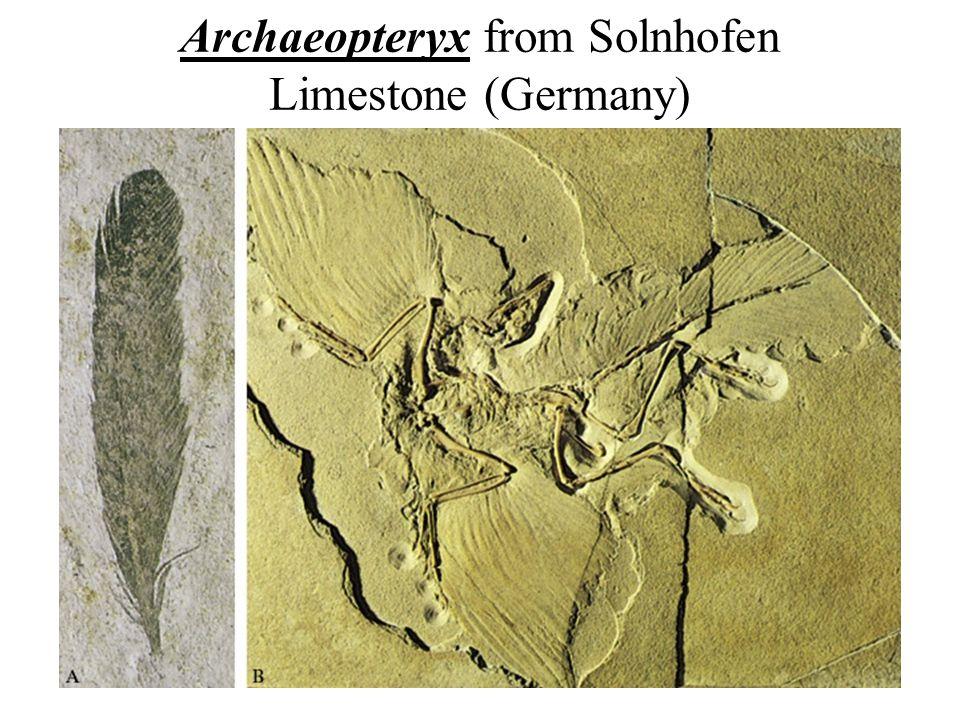 Archaeopteryx from Solnhofen Limestone (Germany)