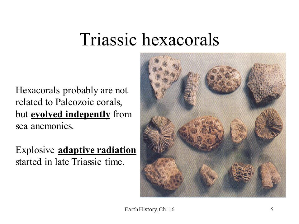 Triassic hexacorals Hexacorals probably are not