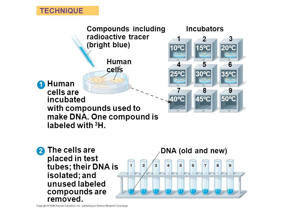 make DNA. One compound is labeled with 3H.
