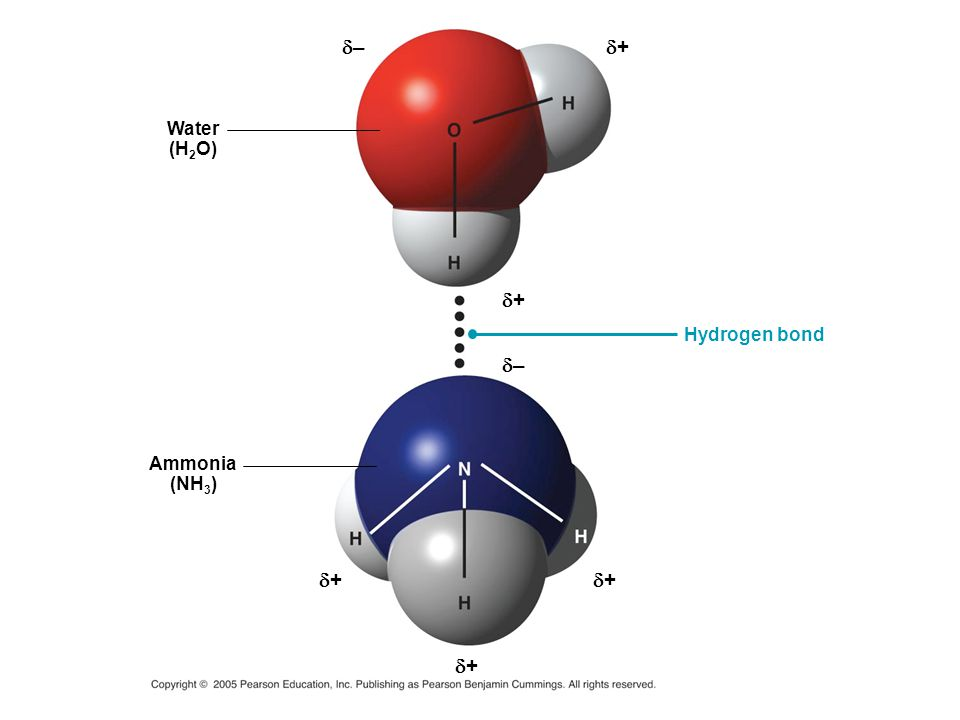 – + Water (H2O) + Hydrogen bond – Ammonia (NH3) + + +