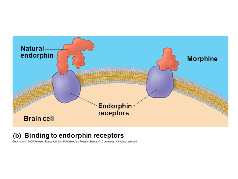 Natural endorphin Morphine Endorphin receptors Brain cell Binding to endorphin receptors