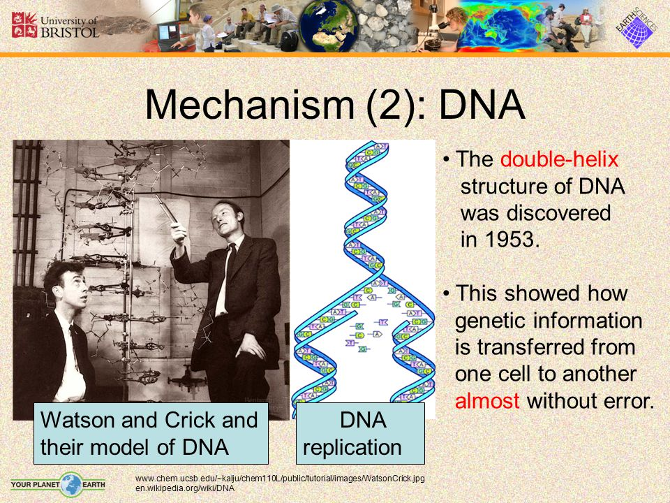 Mechanism (2): DNA The double-helix structure of DNA was discovered