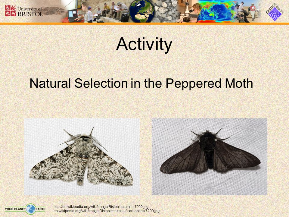 Activity Natural Selection in the Peppered Moth
