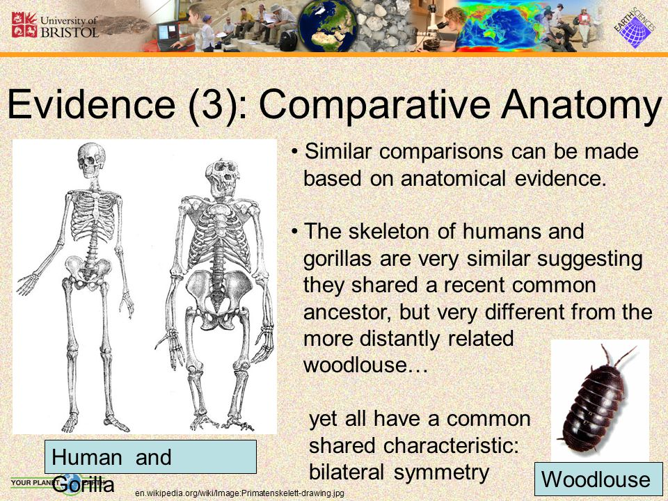 Evidence (3): Comparative Anatomy