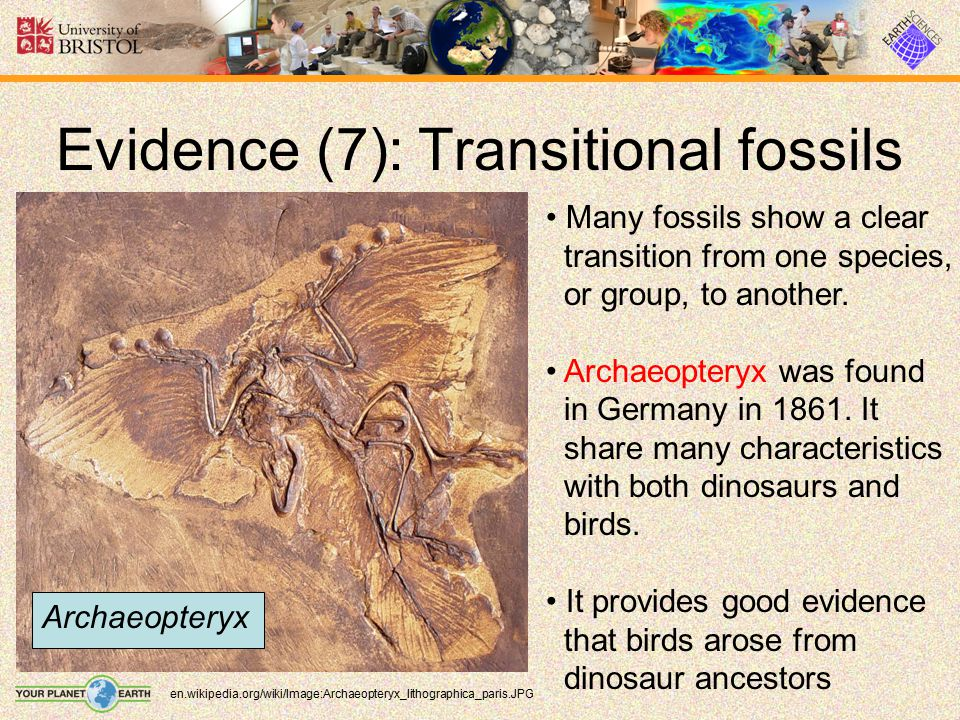 Evidence (7): Transitional fossils