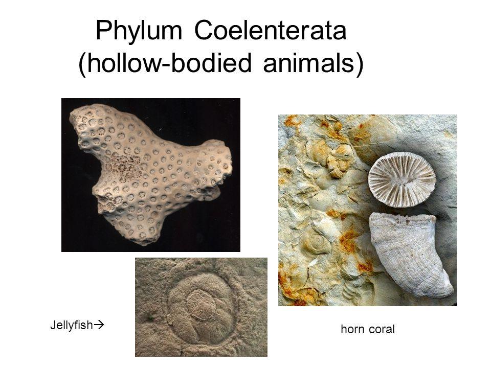 Phylum Coelenterata (hollow-bodied animals)