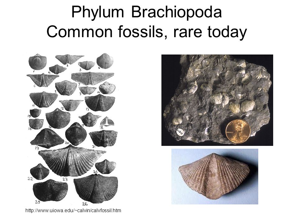 Phylum Brachiopoda Common fossils, rare today