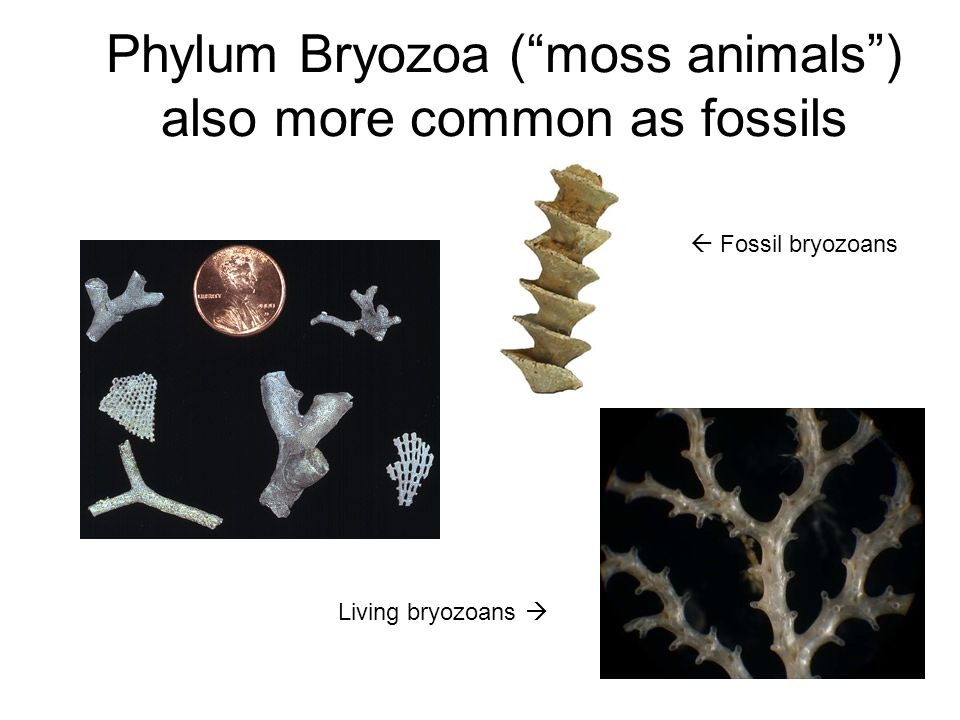 Phylum Bryozoa ( moss animals ) also more common as fossils