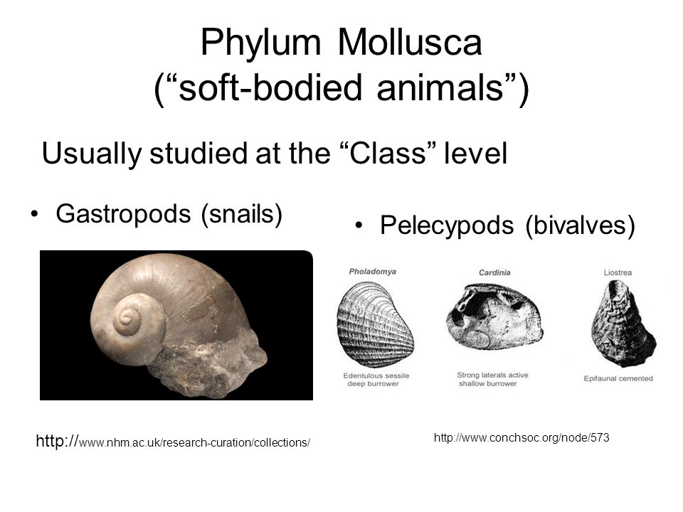 Phylum Mollusca ( soft-bodied animals )