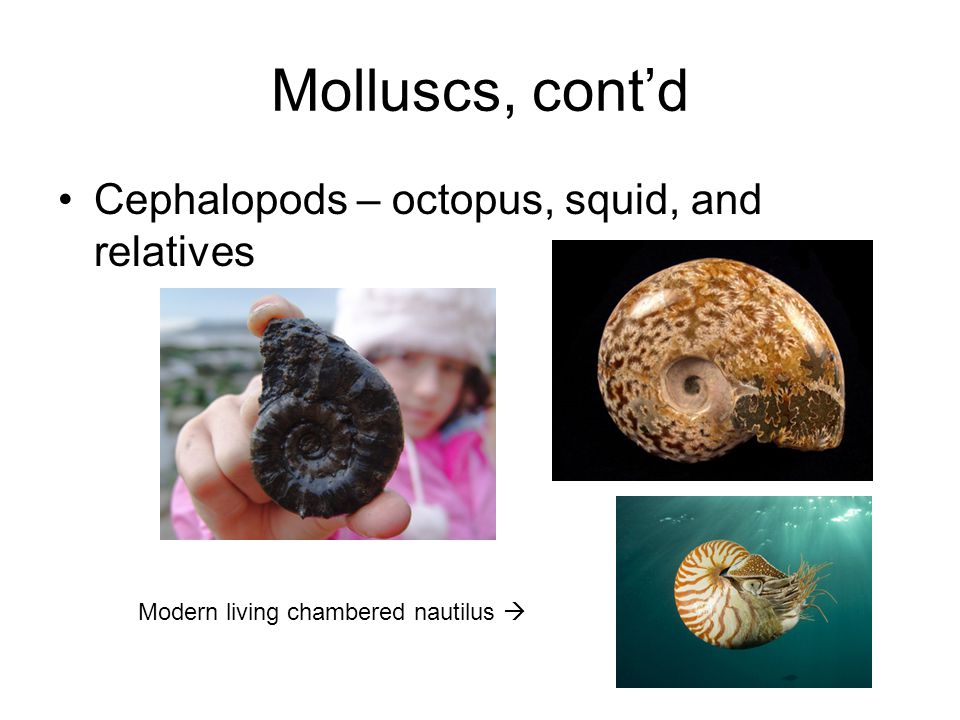 Molluscs, cont'd Cephalopods – octopus, squid, and relatives