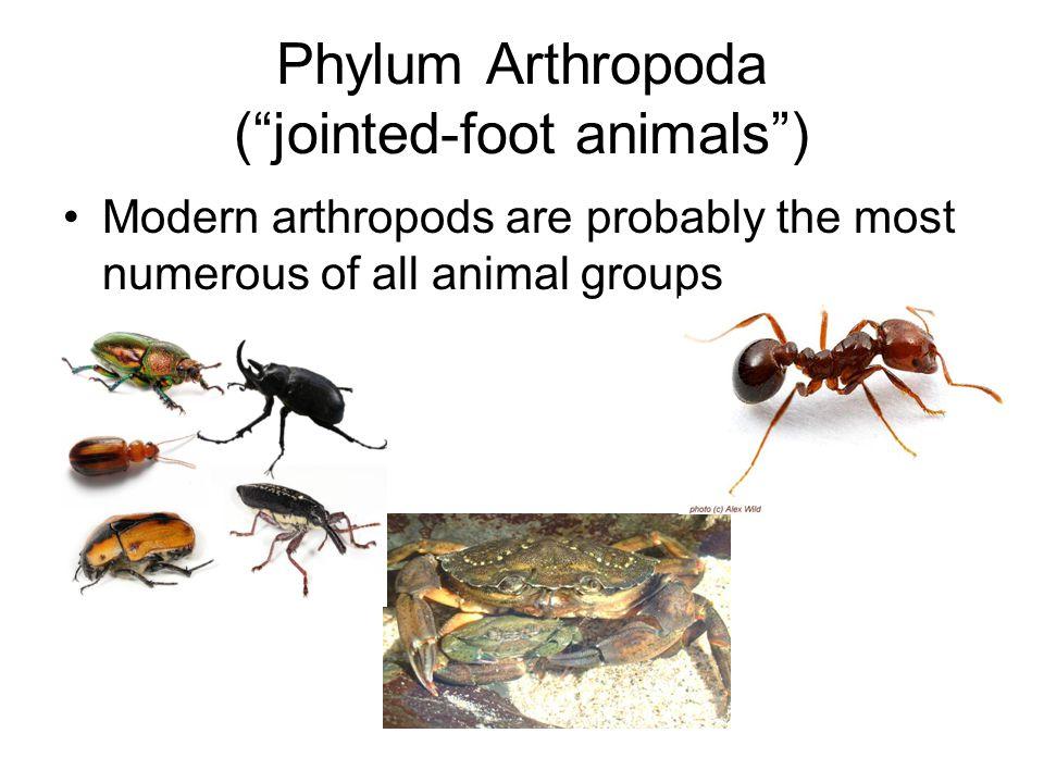 Phylum Arthropoda ( jointed-foot animals )