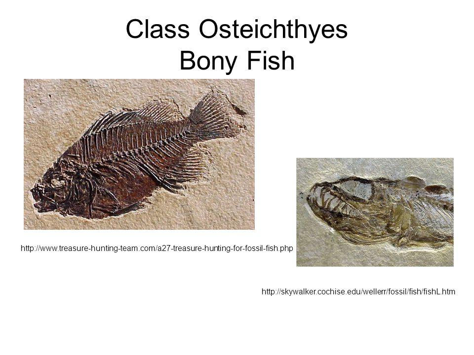 Class Osteichthyes Bony Fish