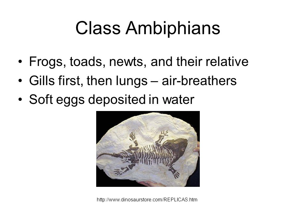 Class Ambiphians Frogs, toads, newts, and their relative