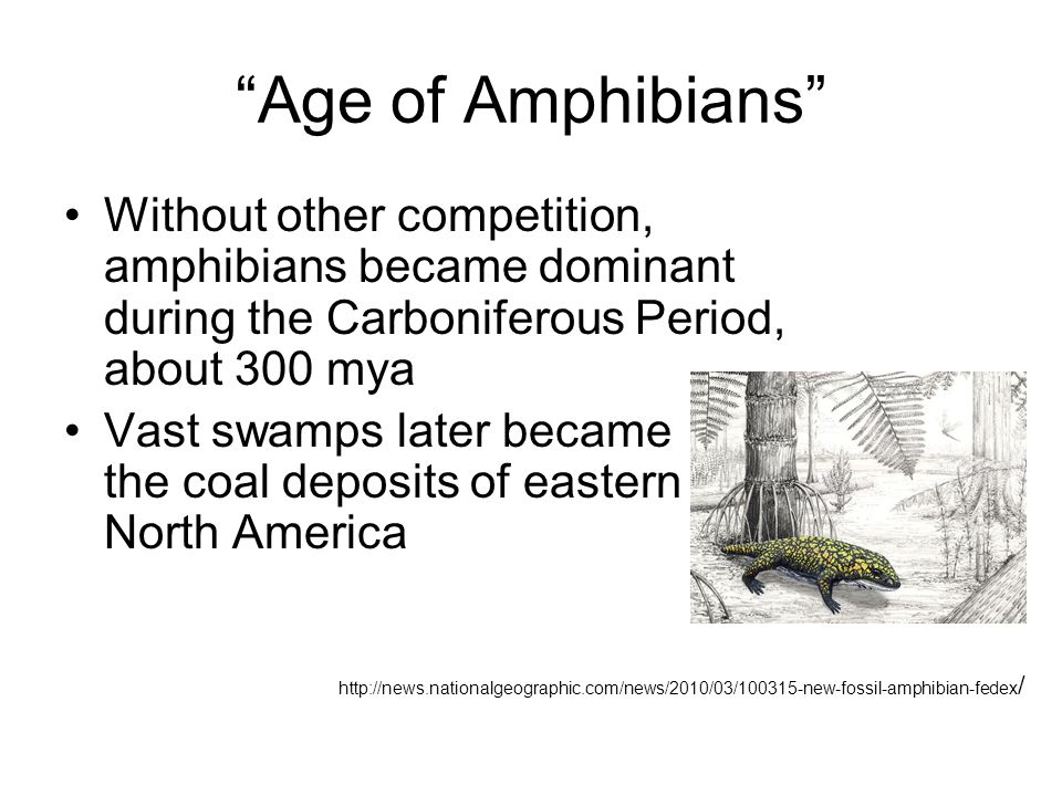 Age of Amphibians Without other competition, amphibians became dominant during the Carboniferous Period, about 300 mya.