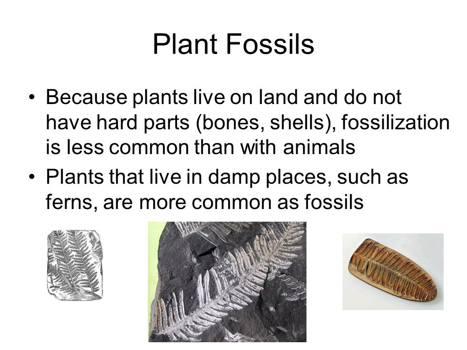 Plant Fossils Because plants live on land and do not have hard parts (bones, shells), fossilization is less common than with animals.