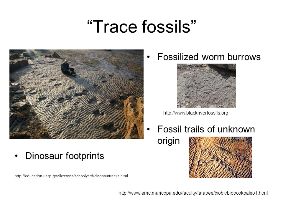 Trace fossils Fossilized worm burrows