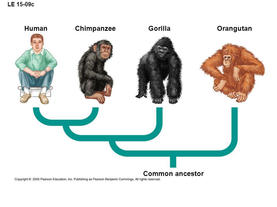 LE 15-09c Human Chimpanzee Gorilla Orangutan Common ancestor