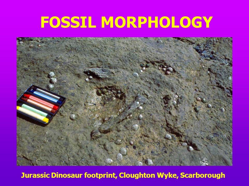 FOSSIL MORPHOLOGY Jurassic Dinosaur footprint, Cloughton Wyke, Scarborough