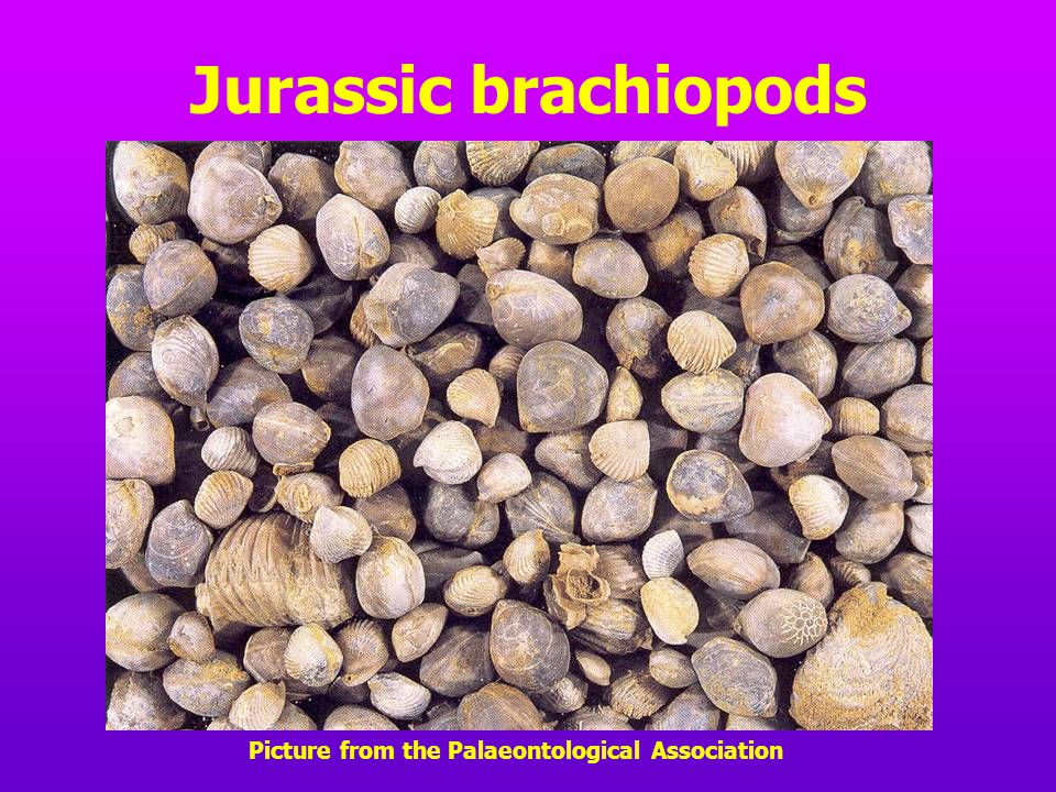 Jurassic brachiopods Picture from the Palaeontological Association