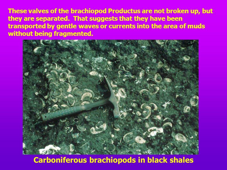 Carboniferous brachiopods in black shales