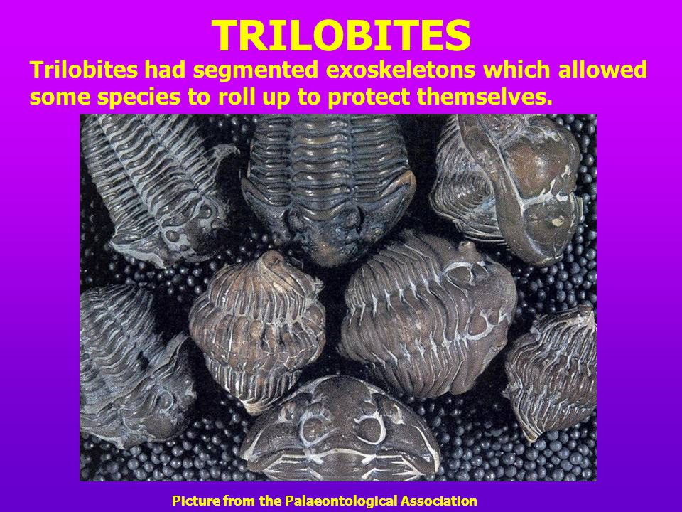 TRILOBITES Trilobites had segmented exoskeletons which allowed some species to roll up to protect themselves.