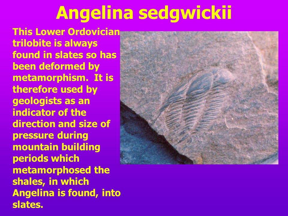 Angelina sedgwickii