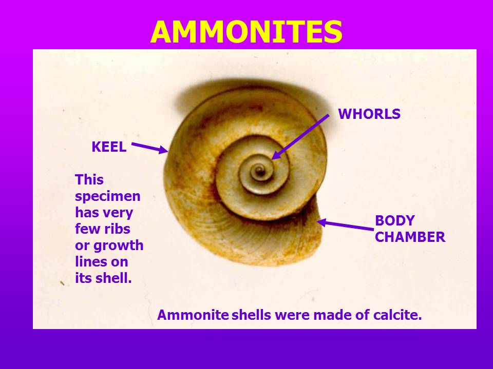 AMMONITES WHORLS. KEEL. This specimen has very few ribs or growth lines on its shell. BODY CHAMBER.