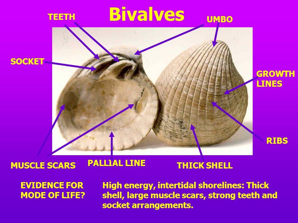 Bivalves TEETH UMBO SOCKET GROWTH LINES RIBS PALLIAL LINE MUSCLE SCARS